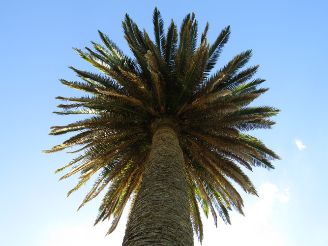 Palms Reaching for the sky