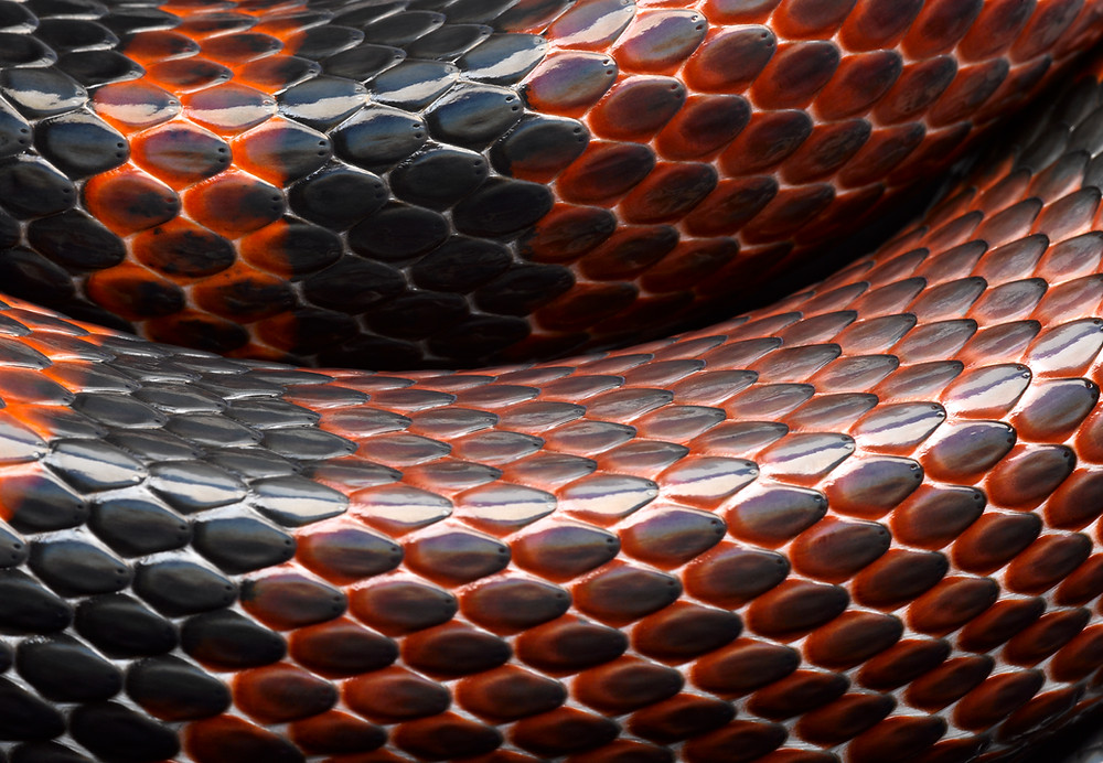 close up of black and red snake scales