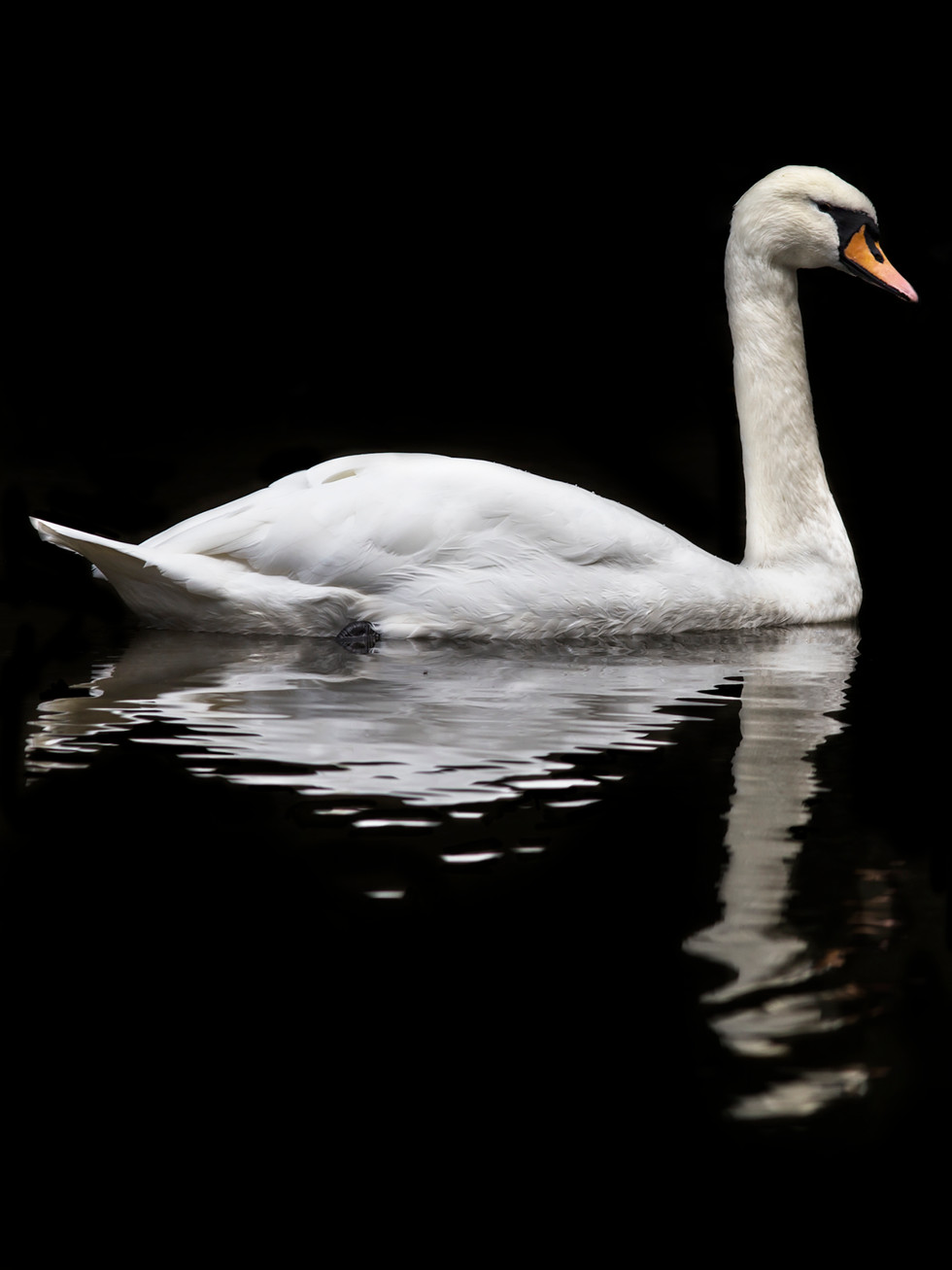 Mute Swan reflections