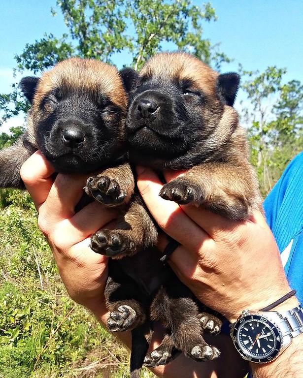 GatorlandK9 Malinois Puppies