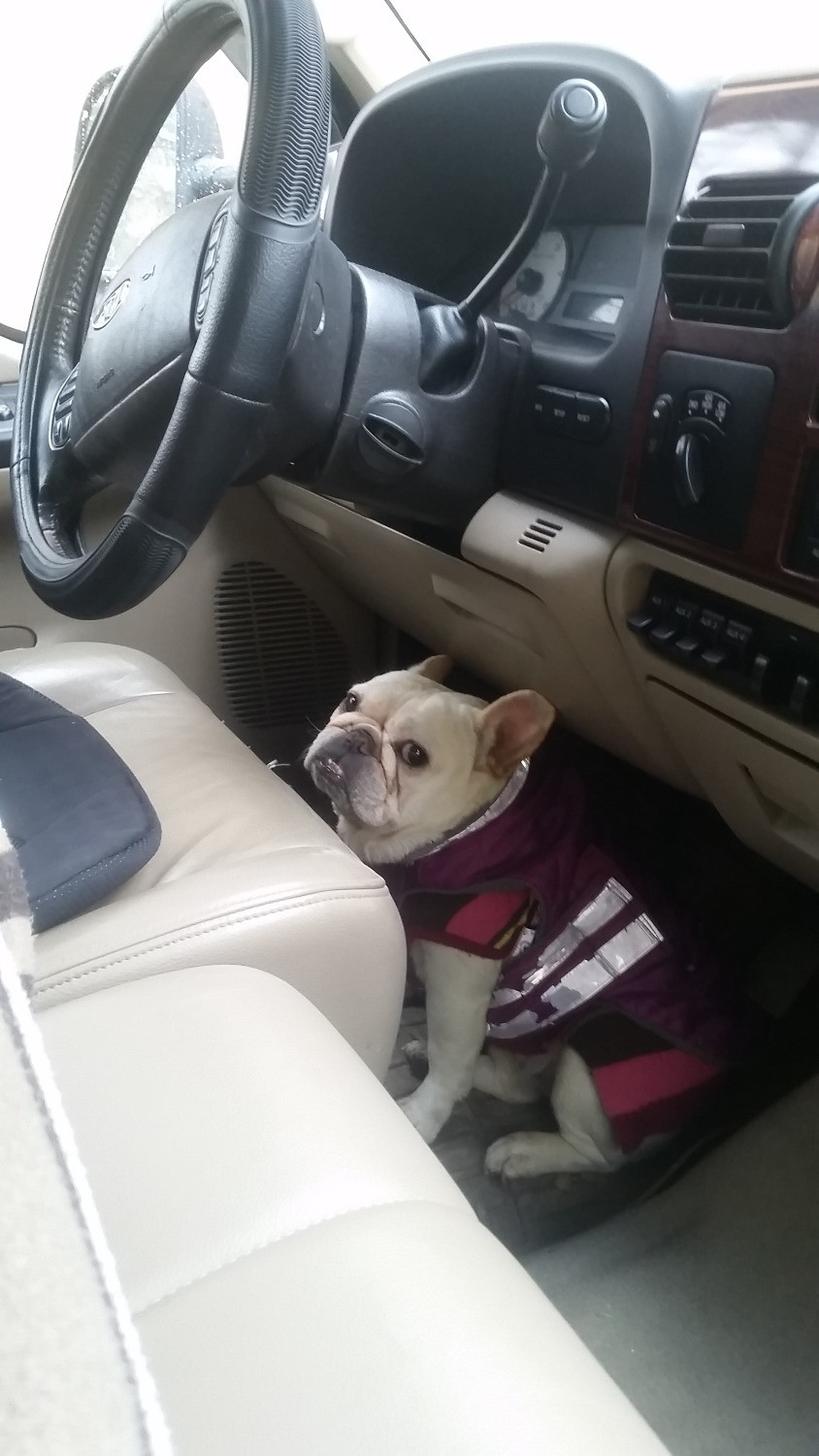 Mona, our french bulldog landscaper, sitting down in driver's side pedals in her Ford250