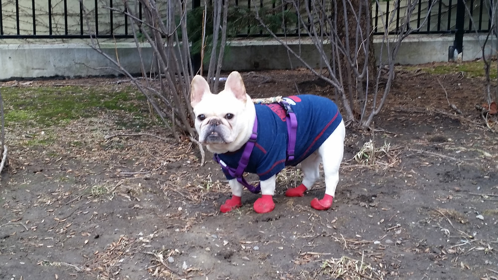 Mona, our french bulldog landscaper, on jobsite wearing her New England Patriots jersey and paw protection booties, staring at the camera
