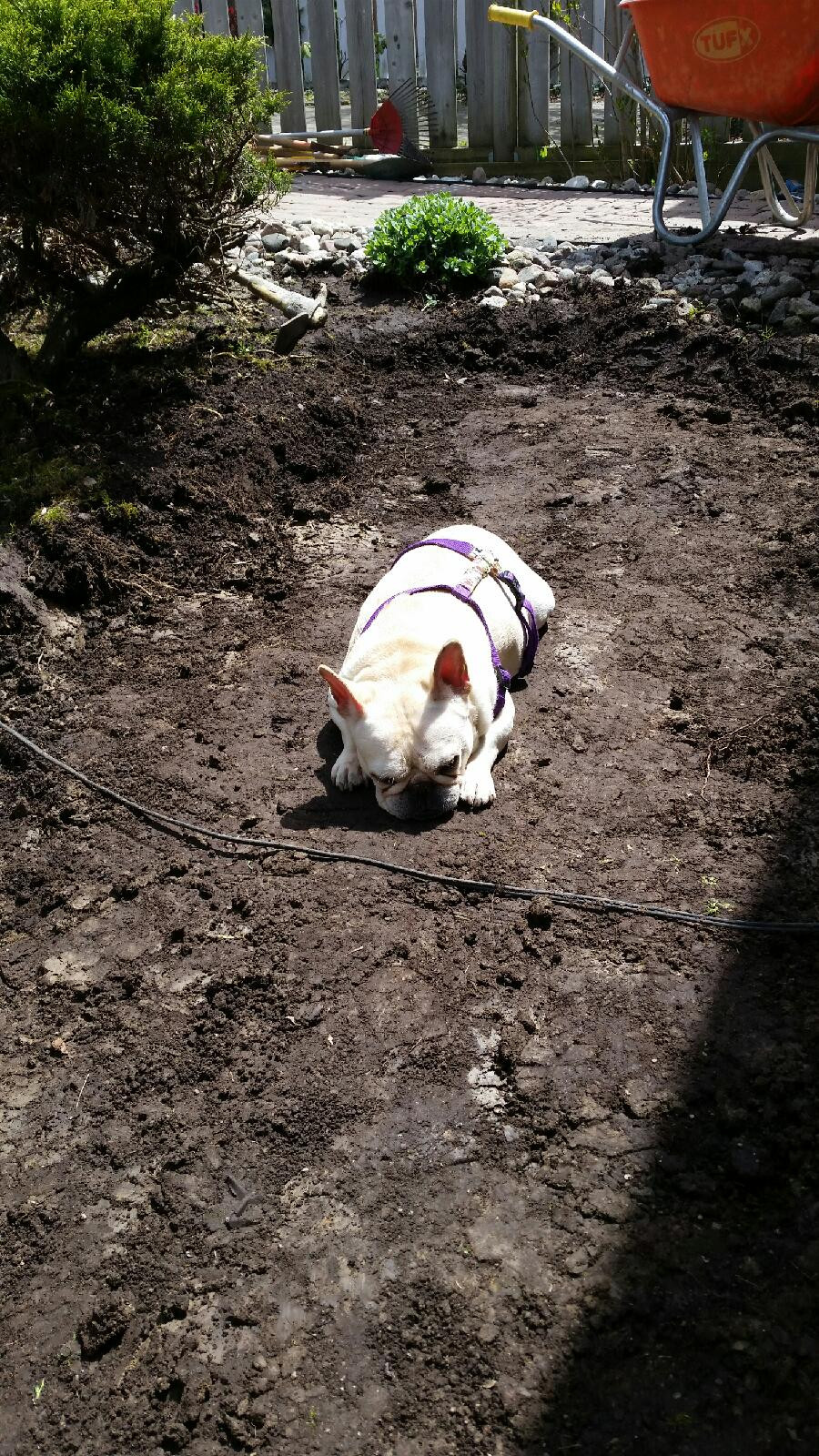 Mona, the french bulldog landscaper napping on the ground that was excavated