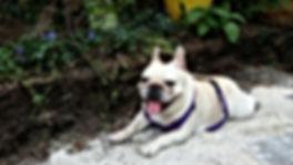 Mona, the french bulldog
