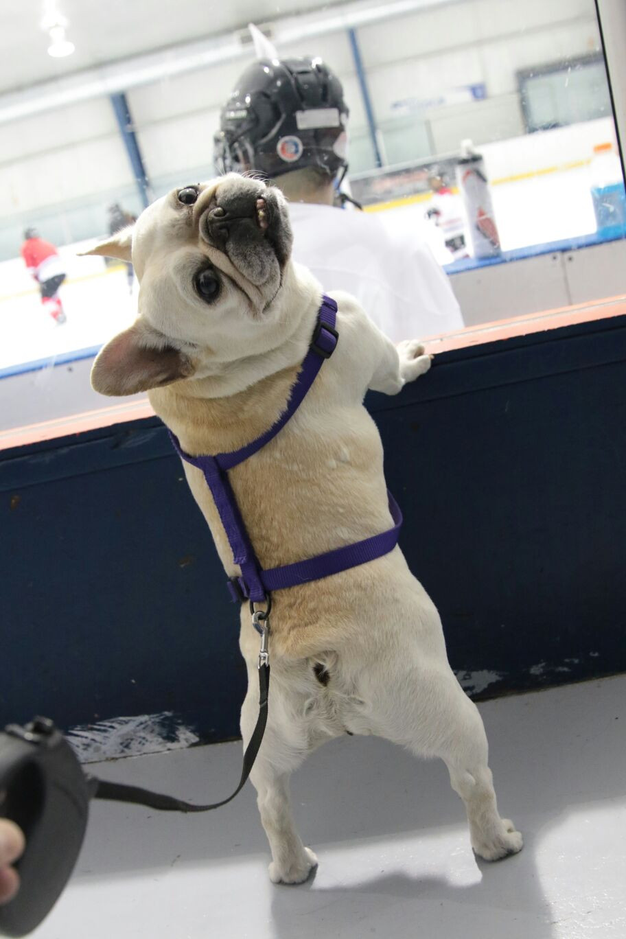 Mona, our french bulldog landscaper, at local hockey arena cheering Daddy while he plays hockey. She's looking back at camera standing on her hind legs with front paws perched up on boards.