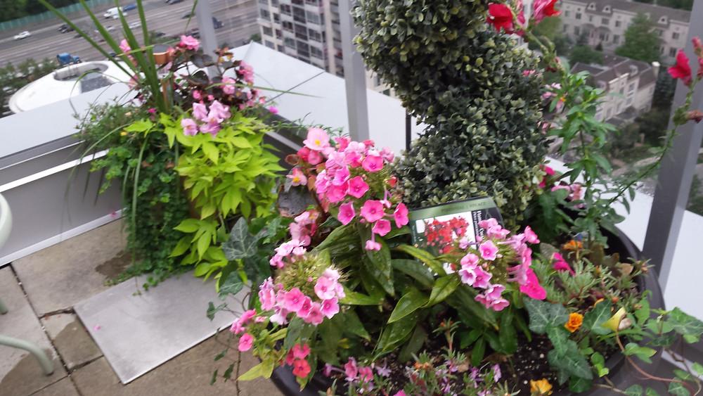 potatoe vines, english ivy, delphinium, tickseed, perennials, annual flowers, dracenas