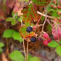 berry-3844470_1920.jpg