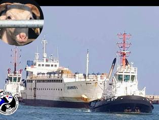 אניית משלוחים חיים עמוסה באלפיי עגלים וטלאים תקועה בפורטוגל בשל שביתת מתדלקים A LIVESTOCK SHIP LOADE