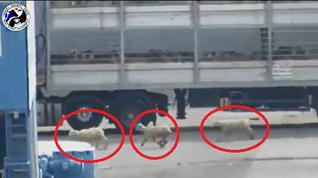 שלושה טלאים ברחו בזמן פריקה- Three lambs  fled during unloading