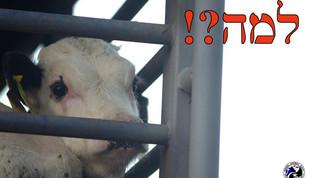 החזרת המכס על יבוא הבשר, האם זה לטובת העגלים? Reinstate the customs tax on the imported meat, is it