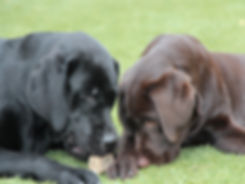 Black and Chocolate Labradors