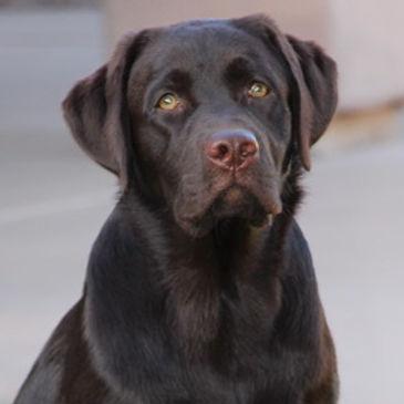 Oakley Chocolate Labrador