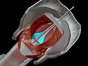Vue sur les cordes vocales