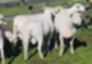 Shorn Rams