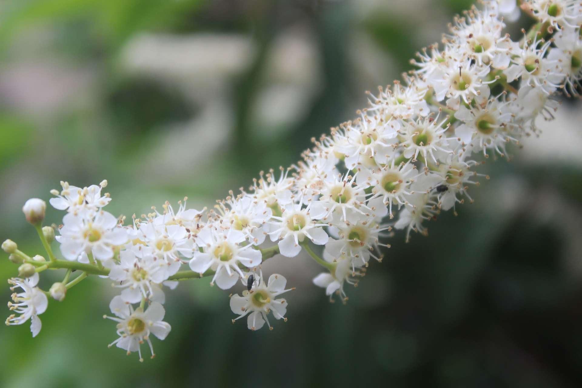 laurel-blossom-3462967_1920-1920