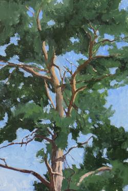 Scots Pine III