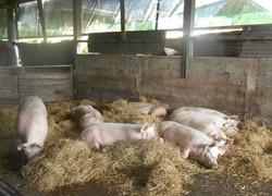 cochons qui se reposent à La Ferme
