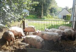 cochons au soleil de la Ferme