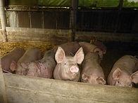 Porcs de la Ferme de la Forge