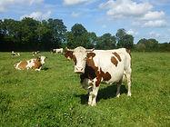 Vaches de la ferme de la forge dans le cotentin en Normandie