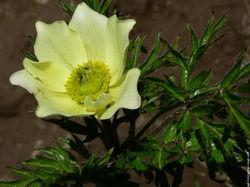 Fleur Anémone