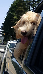 DeeCor Goldendoodles,Goldendoodle puppy,breeder,Comox Valley,Vancouver Island, B.C., Canada