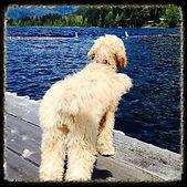 goldendoodle breeder Vancouver Island,B.C. Canda