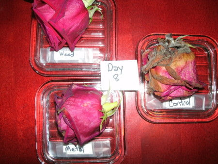 Pyramid Experiment: Rose-Day 8