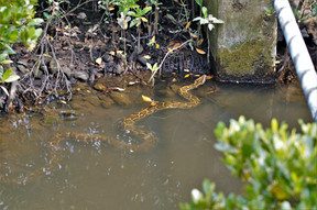 burmese python2.JPG