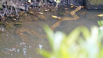 burmese python in  Tung Chung.JPG