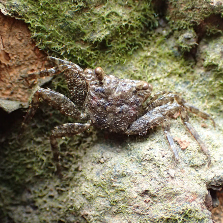New endemic mangrove crab discovered in Hong Kong