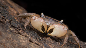 A new genus described for a Hong Kong mangrove crab and the largest known population is Mai Po!