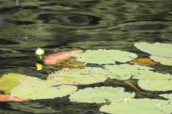 Lillie Pond