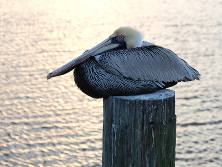 Pelicans of Amelia Island