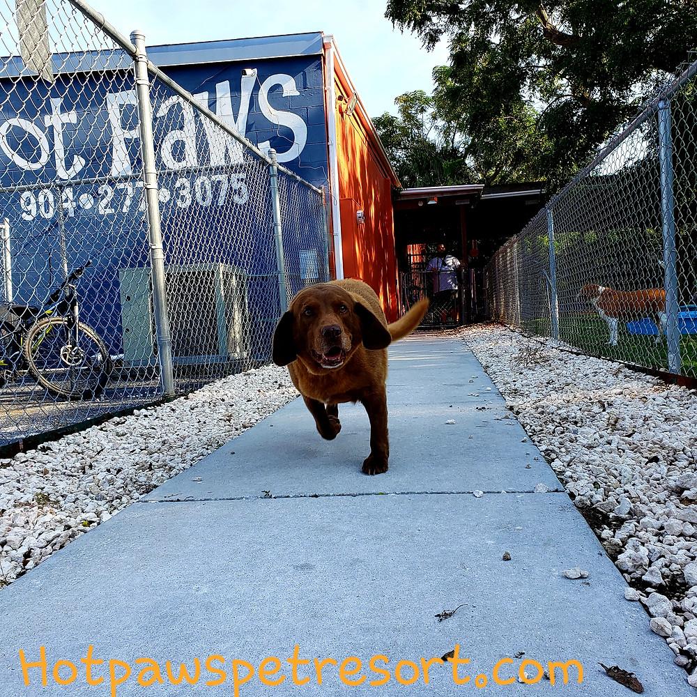 Small brown dog running on a sidewalk