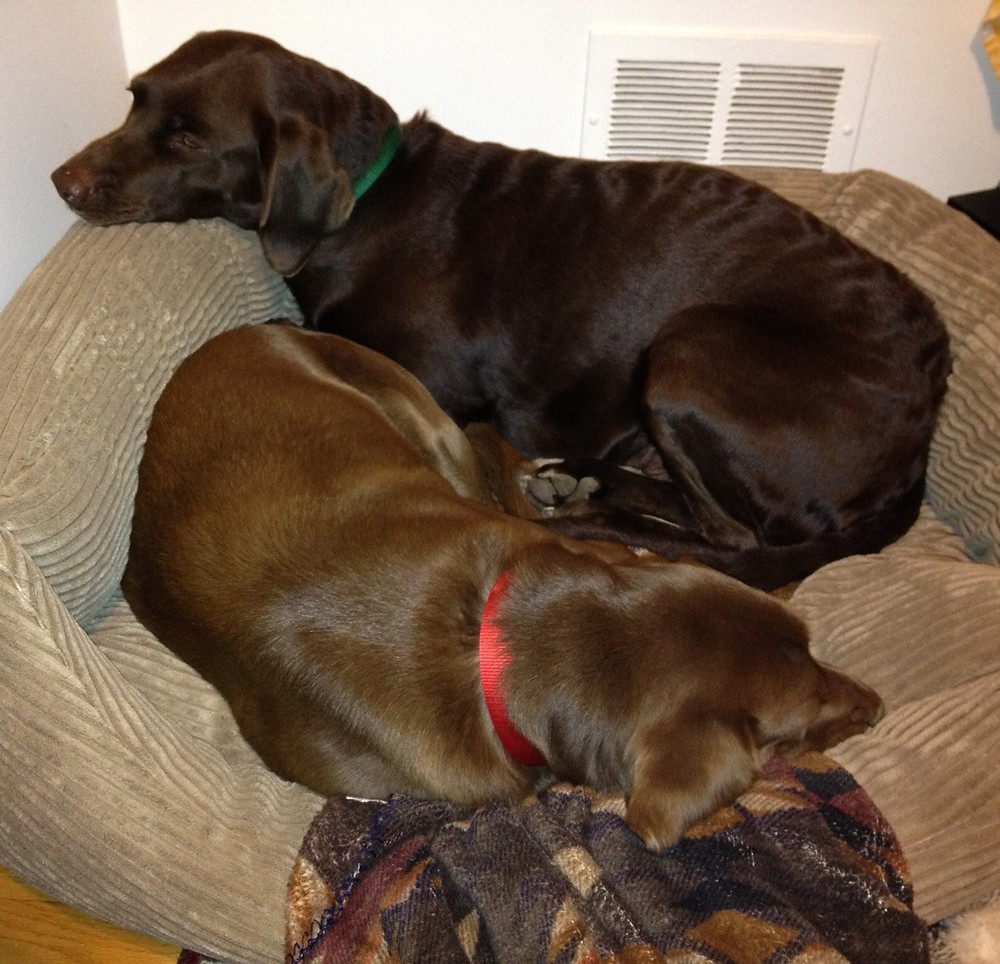 Two brown dogs sharing a bed