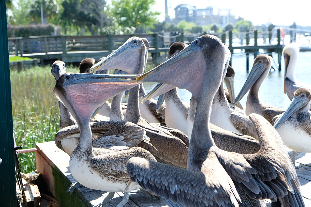 brown pelicans on a dock