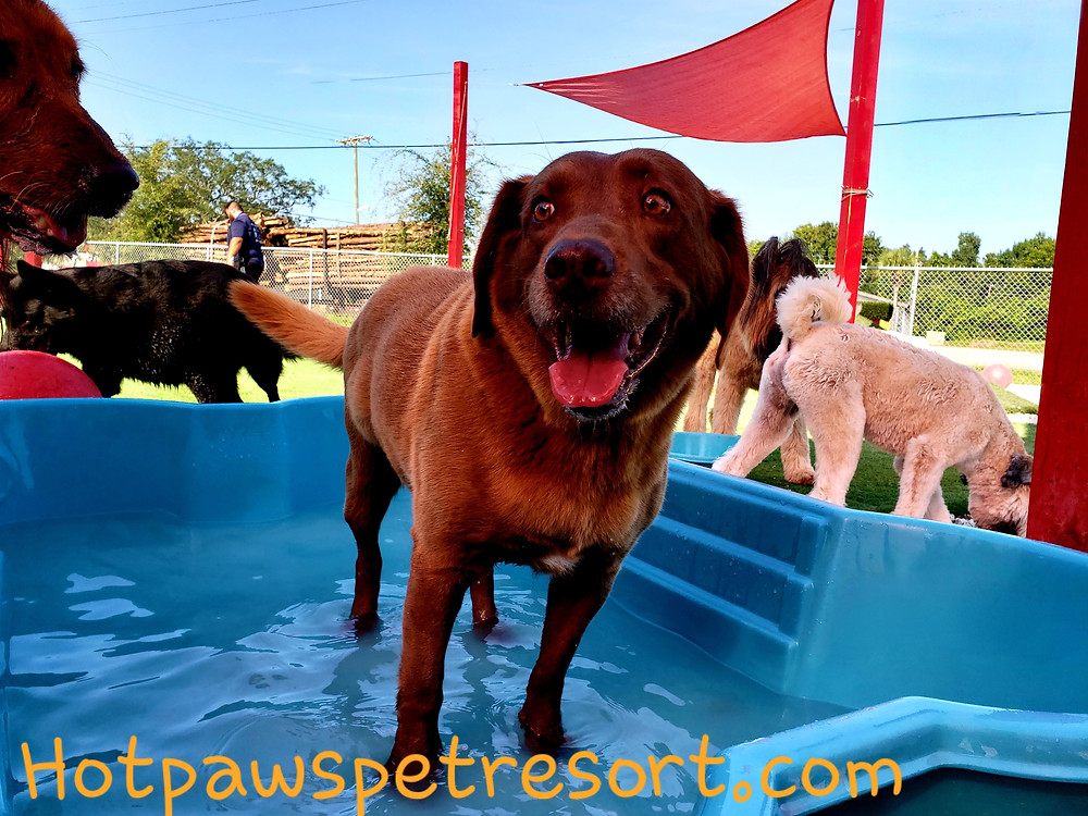 brown dog in pool surrounded by other dogs