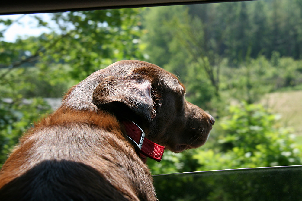 brown dog with red collar in car looking out the window with trees going by