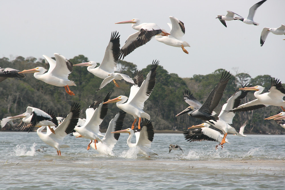 Dozens of white pelicans take flight from their perch on a sandbar in Simpson Creek, off Little Talbot Island in North Florida