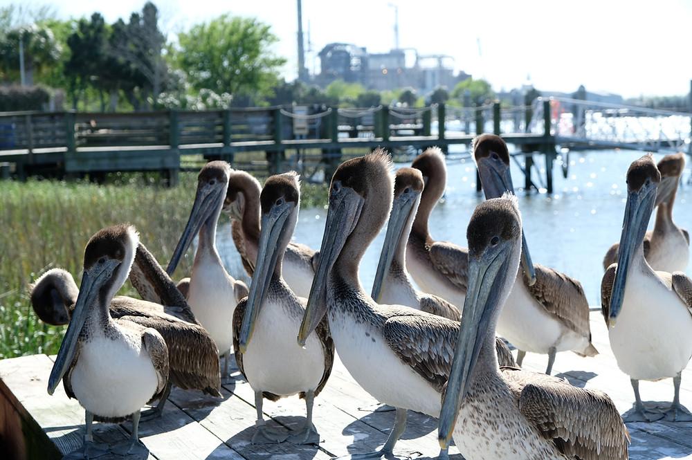 one dozen brown pelicans lined up on dock outside Atlantic Seafood in Fernandina Beach