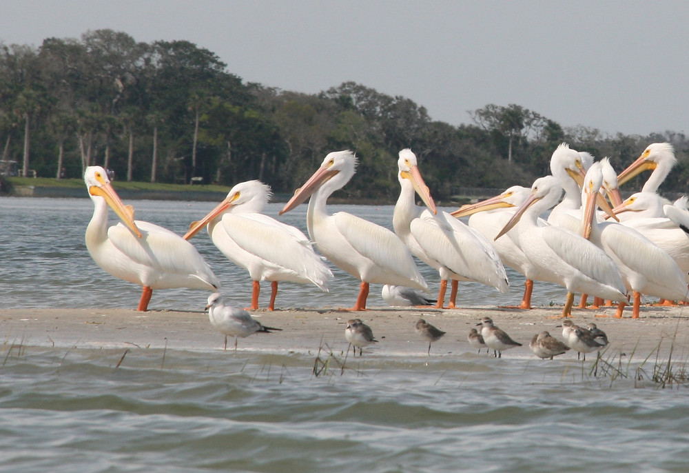 White Pelicans on a sandbar with other small birds, near Little Talbot Island, south of Amelia Island, Florida