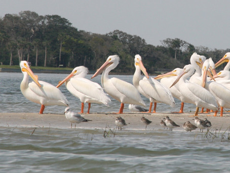 Limericks -  Honoring St. Patrick's Day with White Pelicans and a Rooster