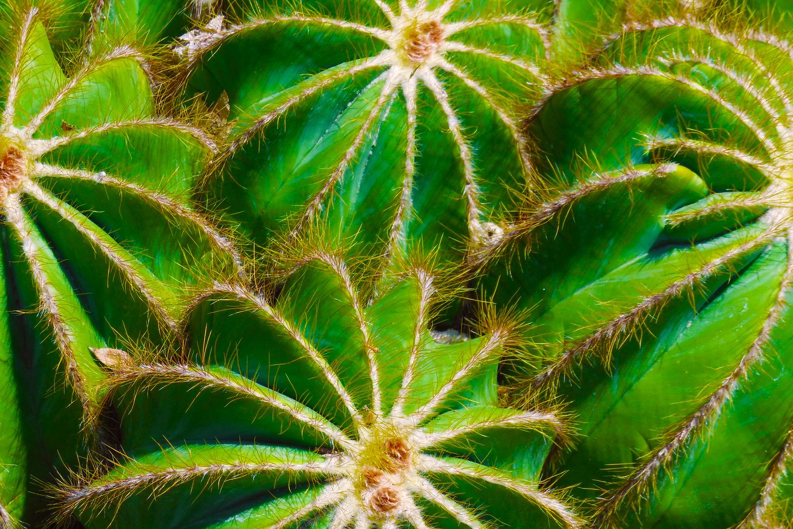 Green Barrel Cacti