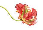 parrot tulip watercolor.jpg