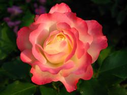 flower: rose