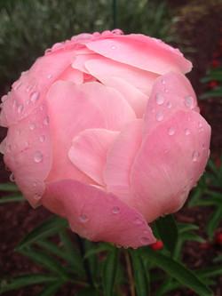 flower: peony