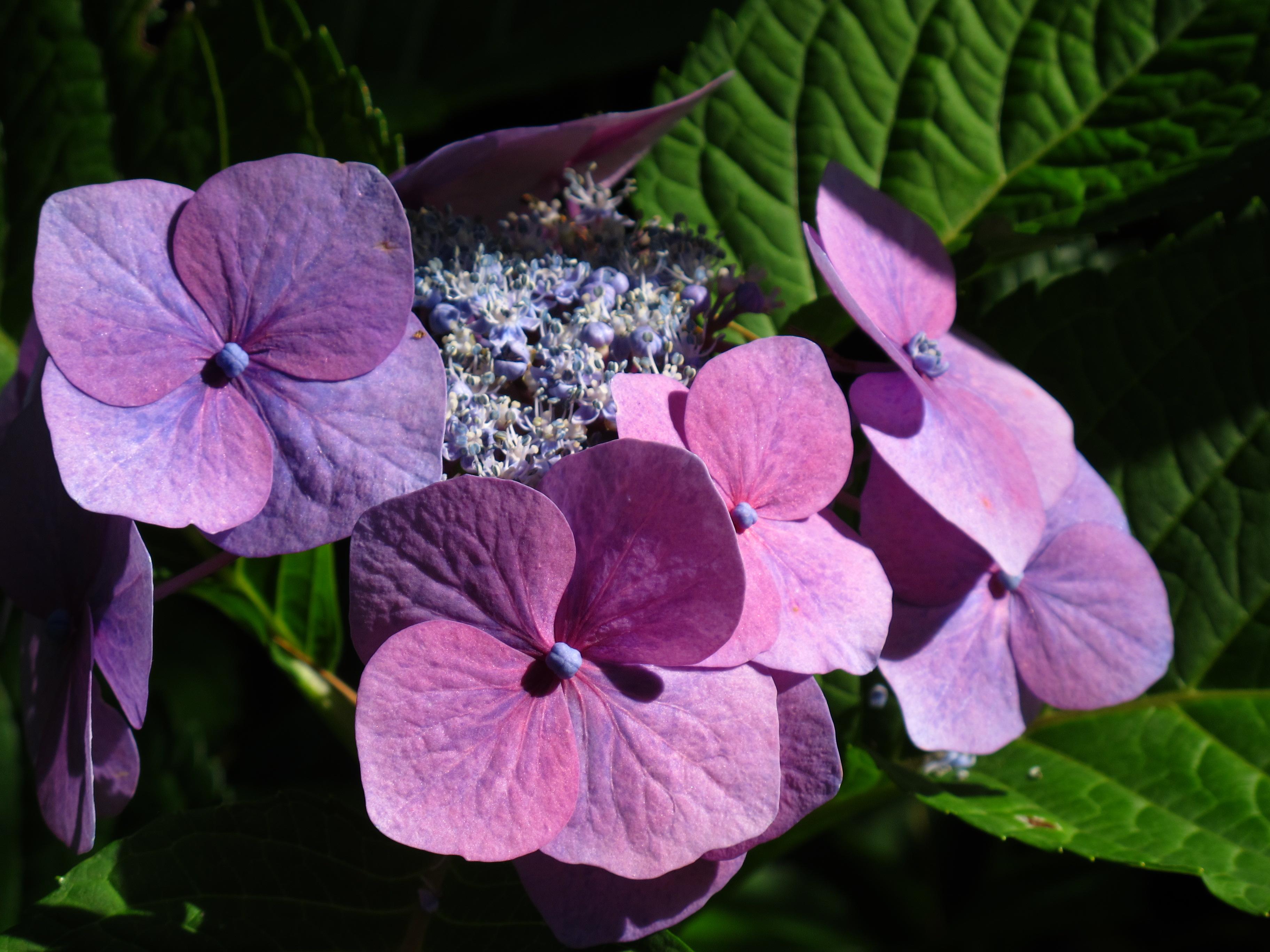 shrub: hydrangea