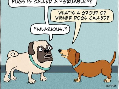 When a pug met a wiener dog