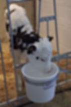 CanarmBSM calf suite